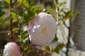 朝倉サザンカ苗   【庭木】 【山茶花】サザンカ苗 サザンカ 外輪が薄いピンク 内輪は白の八重咲