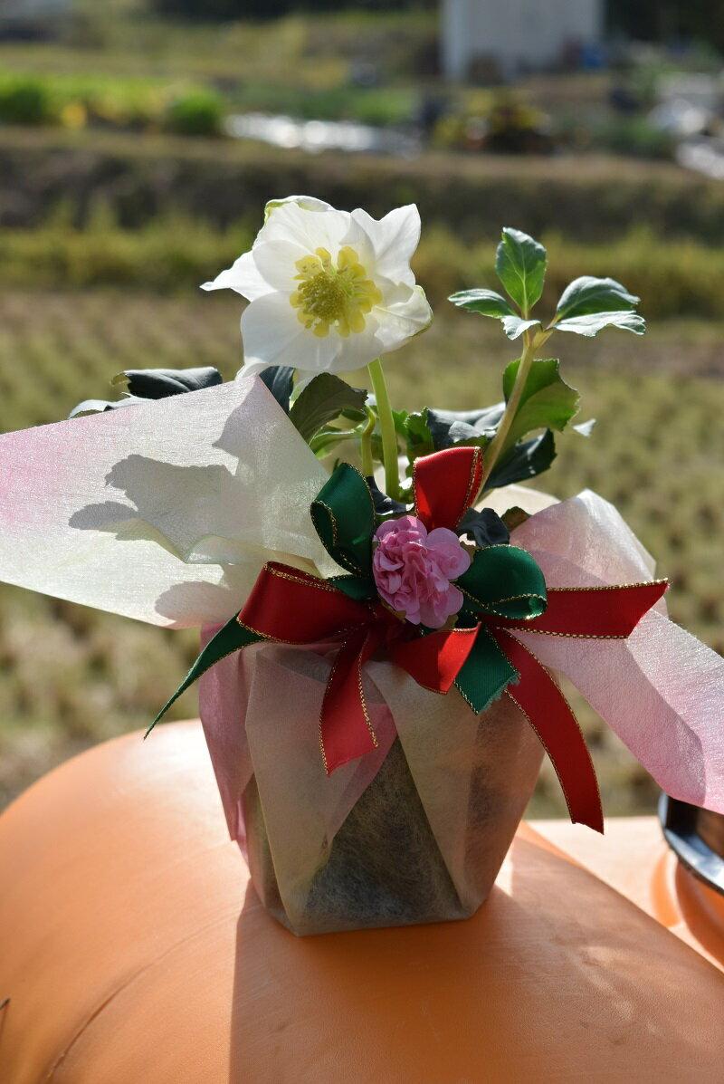 クリスマスローズ鉢植えクリスマスローズ2018年12月開花株純白のクリスマスローズを贈り物【クリスマスプレゼント】クリスマスローズ  ニゲルお祝い花鉢