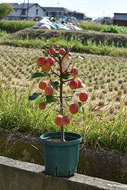 2019年11月頃には赤いりんごず楽しめます【家で手頃に果樹栽培りんご】【長寿りんご】10月〜12月頃実が赤くなりプレゼントや誕生日のプレゼントにりんごの鉢植え長寿紅リンゴ実付き りんご