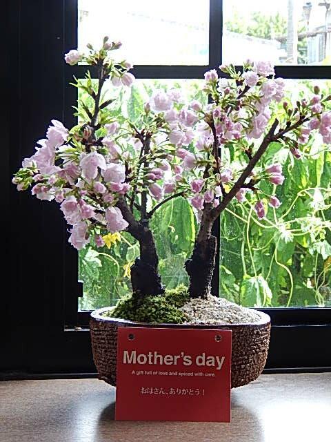 母の日ギフト2018年5月に開花プレゼントや贈り物にさくら盆栽桜盆栽ツイン桜盆栽信楽鉢入り 八重桜盆栽