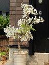 ギフト 白藤盆栽盆栽白藤盆栽純白の白藤2021年4月頃に開花の白藤です房の長さは短めです