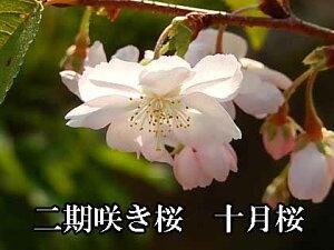 冬の時期に咲く10月桜ミニ盆栽十月さくら盆栽さくら鉢植え二季咲桜 【十月桜】 桜盆栽十月桜 秋と春に2回開花するさくらです