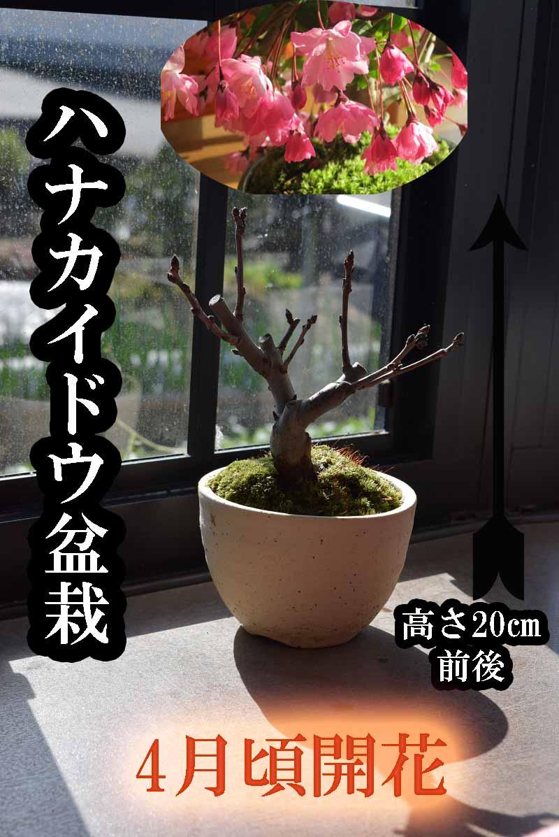 盆栽4月頃お花見が楽しめます2019年開花ミニ盆栽スイシ海棠 ハナカイドウサクラ盆栽
