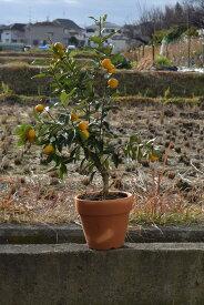 敬老の日2020年きんかん果樹実付ですキンカン鉢植え金柑鉢植えミニミカン