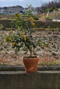 2021年1月〜2月頃まで実がついています食べれるきんかん果樹実付ですキンカン鉢植え金柑鉢植えミニミカン