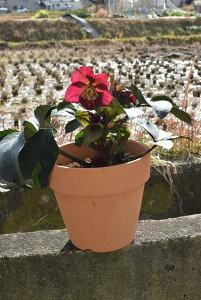 2020年クリスマスローズ1月〜2月開花見込みピンクニゲルクリスマスローズ氷の薔薇  鉢植えニゲルのレッド花