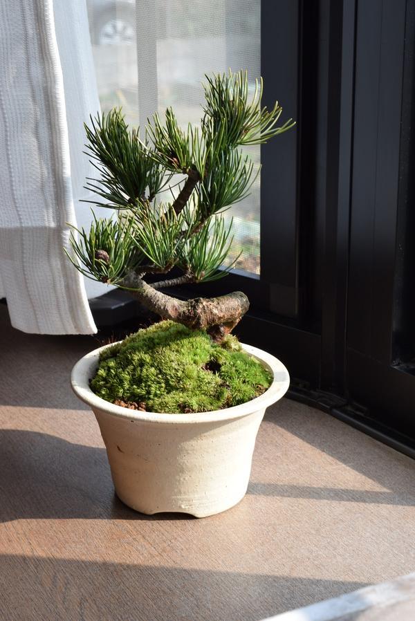 五葉松盆栽 信楽鉢入  松盆栽は丈夫で育てやすい品種ですミニ盆栽は贈り物におすすめです