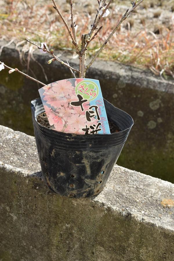2018年開花予定十月さくらポット苗 【十月桜】 桜盆栽十月桜 秋と春に2回開花するさくらです 2018年2月5日撮影