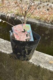 十月さくらポット苗 【十月桜】 桜盆栽十月桜 秋と春に2回開花するさくらです