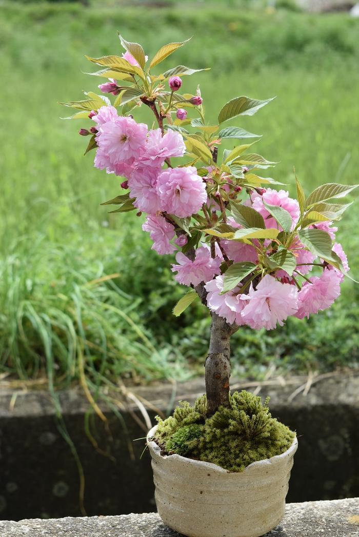 2018年4月に開花八重桜関山桜 八重桜盆栽 ピンクの桜4月中頃に開花します