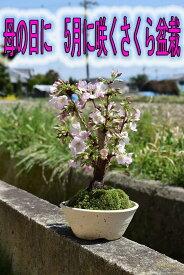 【5月に開花】自宅でお花見2021年5月開花お花見さくら盆栽自宅でお花見を楽しめる御殿場さくら盆栽桜盆栽信楽鉢入り御殿場桜盆栽 一重のピンクのサクラのお花がかわいいですよ桜盆栽 母の日
