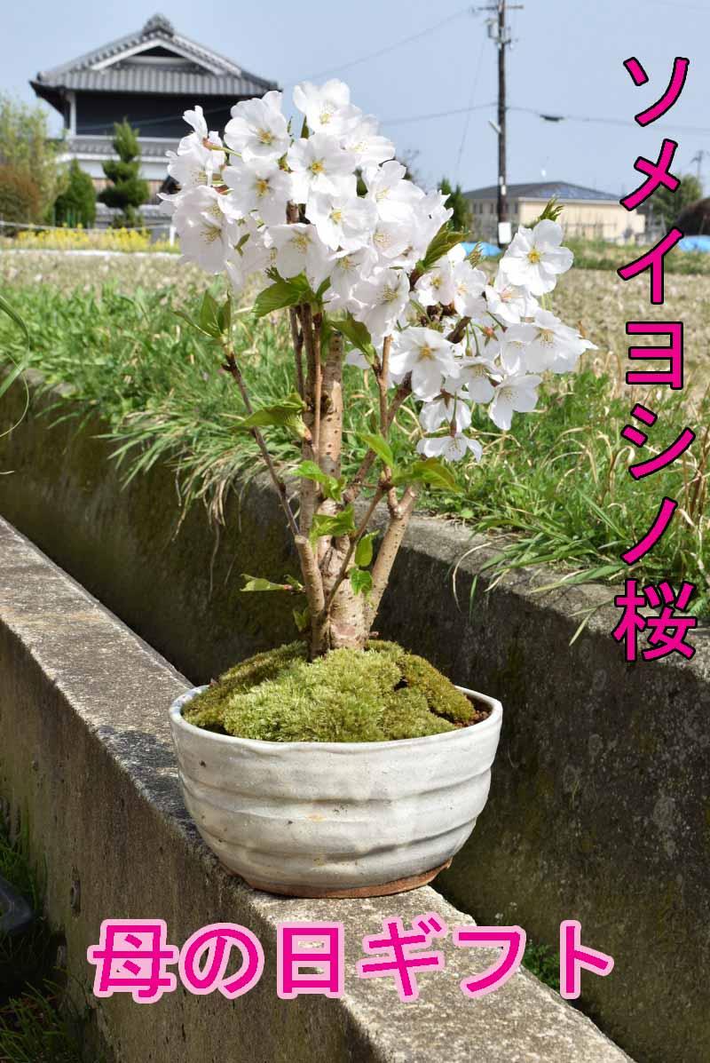 桜盆栽2019年4月開花ソメイヨシノ盆栽サクラといえば染井吉野サクラのミニ盆栽です