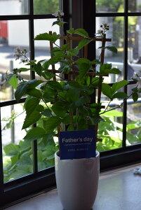 2020年お中元ギフト【果樹】【鉢植え】 お届けは6月10日より 【ブルーベリー】ブラックベリー