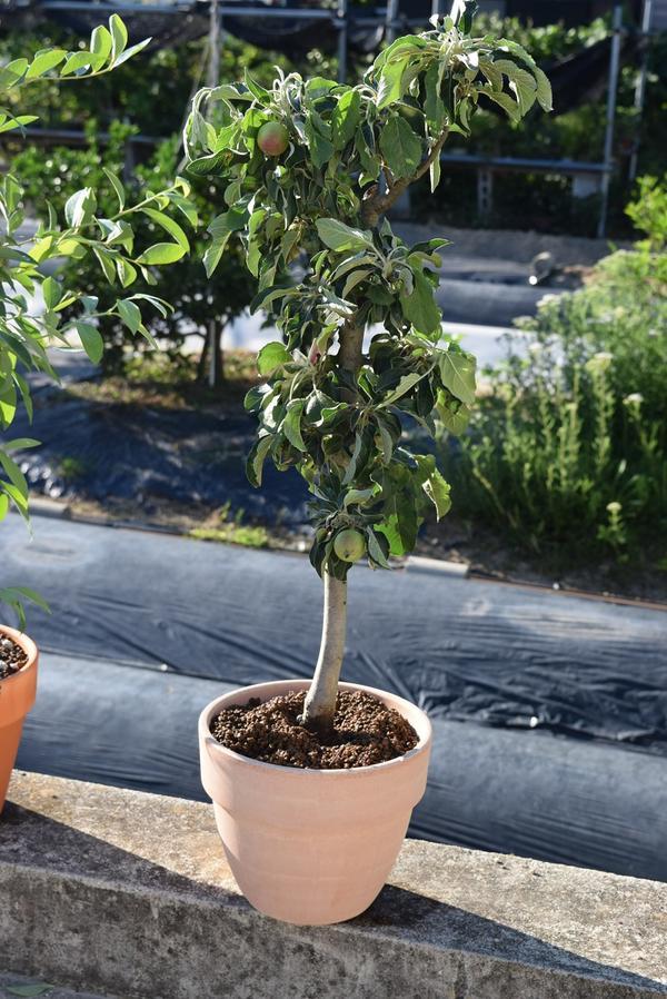 育てる楽しみ実がとても可愛いミニりんご誕生日プレゼントのお祝い鉢植リンゴ:【りんご鉢植え】アルプス乙女りんご鉢植え食べれるミニのアップルができます