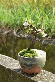 冬にも咲く桜十月桜盆栽二期咲き桜十月サクラ信楽鉢入り十月桜盆栽 二期桜盆栽