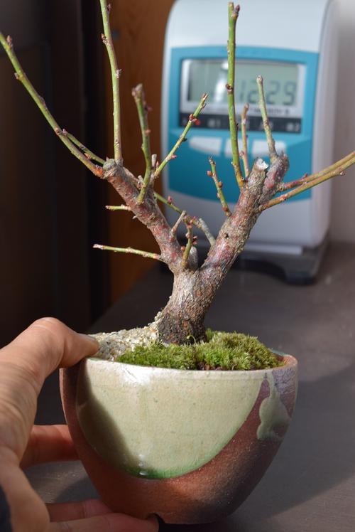 梅盆栽 【盆栽】信楽焼き入り五色梅ミニ梅の盆栽 3月頃開花