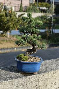五葉松盆栽【盆栽】樹齢8年もの 小品盆栽