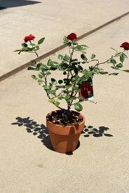 プレゼントに2021年薔薇鉢植え【バラ鉢植え】【バラの花色が選択できます】開花は5月中頃から末頃に咲きます ラッピング込み