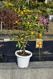 敬老の日ギフト2020年9月きんかん果樹実付ですキンカン鉢植え金柑鉢植えミニミカン