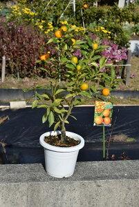 2018年9月〜2019年1月きんかん果樹実付ですキンカン鉢植え金柑鉢植えミニミカン