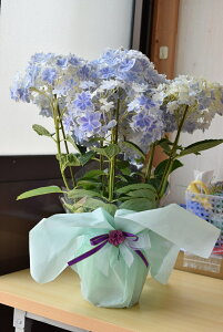 間に合う2021年母の日プレゼントに紫陽花鉢植え万華鏡母の日ギフト万華鏡紫陽花2021年5月7日から10日までにお届け可能です。【母の日 ギフト】アジサイ(紫陽花) あじさい【ラッピング付