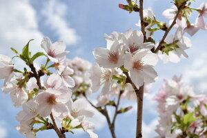 サクラ鉢植え桜の鉢植え【御殿場桜】信楽鉢入り2017年春の4月頃に開花予定