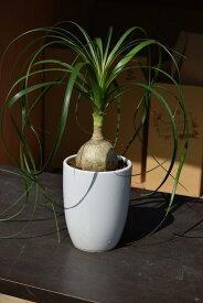 観葉植物トックリランはとても丈夫で育てやすいです