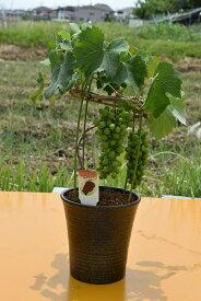 葡萄鉢植え 2019年の 贈り物に葡萄ぶどうが食べれます。スタンレー