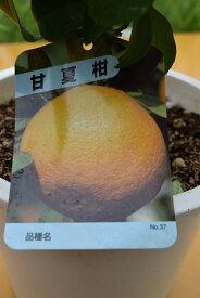 果樹鉢植え甘夏柑