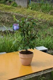 お届けは6月5日より2019年6月実付ですプルーンスタンレー鉢植え果樹鉢植え