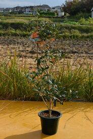 秋を感じる香といえばきんもくせい2022年の秋はおすすめのキンモクセイ開花苗 金木犀2021年10月開花終了苗です