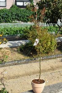 ヒメシャラ鉢植え2021年開花予定姫沙羅鉢植え