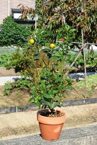 四季成小みかん鉢植ミカン陶器鉢入り品種は橘 小みかん