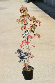 2021年花芽付きヤマボウシ苗シンボルツリー 【庭木】ヤマボウシ白花 月光ホンコンエンシスヤマボウシ苗