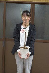 おめでたい桃鉢植え2021年4月中頃開花苗です立源平 ハナモモ 源平桃【ゲンペイモモ】桃鉢植え