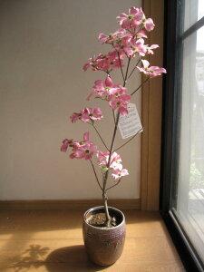 かわいいピンクのハナミズキギフト2021年4月〜5月頃に開花ジュニアミスハナミズキ ピンク花水木シンボルツリー 【ハナミズキ 鉢植え】 ピンクのハナミズキ 贈り物に花ミズキ鉢植え