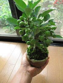 プレゼント姫りんご  鉢植え  ギフト 盆栽ミニ盆栽 6月お届け時は 青リンゴです