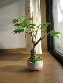 2021年4月中頃に開花八重の桜 桜 盆栽桜盆栽桜のお花見    桜盆栽 を 贈り物に桜 盆栽 【ボンサイ】5月のお届けは葉桜盆栽となります。