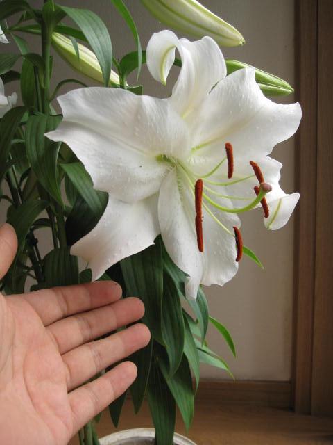 母の日ギフトカサブランカ2019年5月末〜6月頃開花の百合ギフトです 大輪の花 カサブランカ【ユリ】【鉢花】贈り物にカサブランカ蕾の状態です。