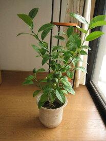 れもんの木レモン鉢植え2021年開花後実のなる予定の レモンの木