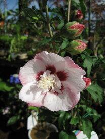 いろんなムクゲが楽しめるムクゲ四種類セット2020年7月に開花