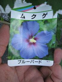 ムクゲ苗木 ブルーバード2021年開花苗 ブルー色に咲くムクゲです。