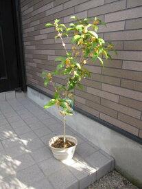 2021年キンモクセイ 金木犀  鉢植 季節を香りで感じる 鉢植え金木犀キンモクセイ鉢植え10月開花終了のきんもくせいです