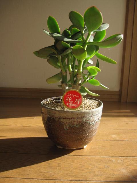 一味違うプレゼントに金のなる木 【観葉植物】花月多肉植物