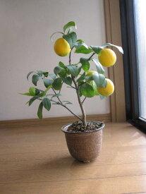プレゼント レモンの木で  天然レモンパックで 美肌になるかも  レモンの鉢植え