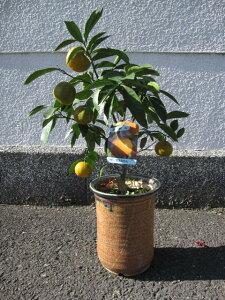 2021年みかんの木1月ころまで 実がついていますミカン鉢植え ビタミンCは 免疫力アップ  食べれるみかんのプレゼント