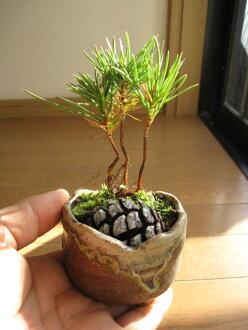 A mini-bonsai: A type with pine Shigaraki bowl of the pine pinecone