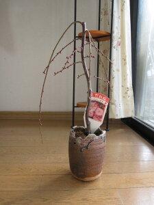 香りを楽しむしだれ梅盆栽八重咲のピンク色と 香りの贈り物ミニしだれ梅盆栽 開花は2021年3月頃ちなみに海外でも BONSAI ボンサイと言います。
