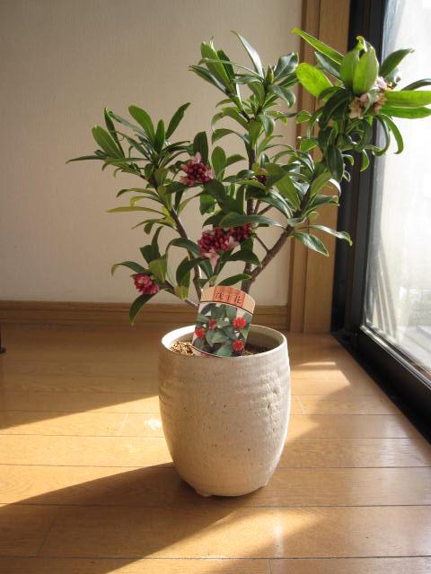 2019年開花の沈丁花赤花ジンチョウゲ鉢植え花の香りがいいかおりがします。 開花は毎年三月 自然の香水 沈丁花信楽鉢入り