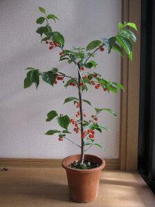 サクランボ苗 実がついてない状態でのお届けになります【果樹】暖地サクランボ苗木